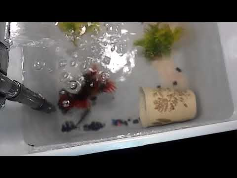 My Rosey Red Minnow Breeding Tank!!!