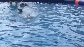 접영하는 프렌치불독, 너무귀엽쟈몽     swimmin…