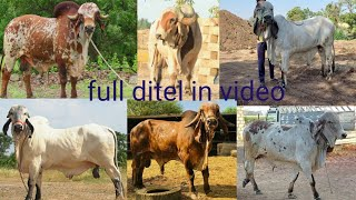 Best Gir Bull In Gujarat Gaushala kartik, devdatt, mohan, kano, raj morlo karan full ditel in video
