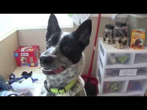 Adopt Indy! 1 yr. Australian Cattle Dog Mix!