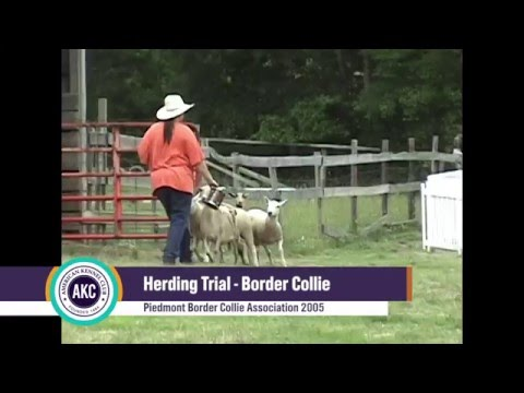Border Collie - Herding Trial - PBCA 2005