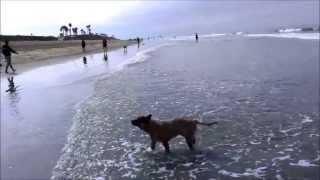Australian Cattle Dog Red Heeler Playing Fetch At Huntington Dog Beach California.