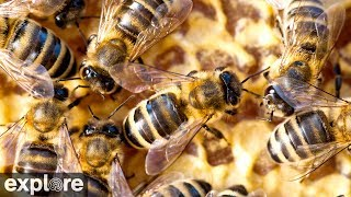 Honey Bee Hive powered by Explore.org