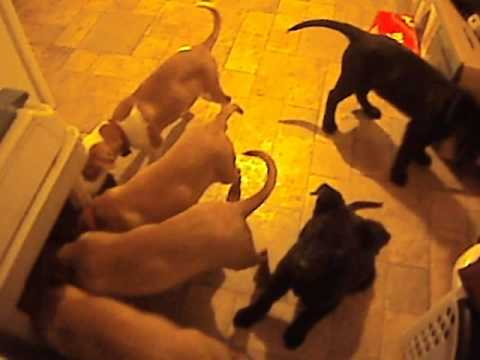 Lab Mix Puppies Available For Adoption Outside Bangor Maine...