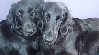 Flat Coated Retriever  Dog Breed  Pet Friend