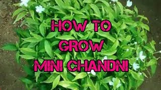 How To Grow Mini Chandni || Mini Chandni Plant Care || MUST WATCH..