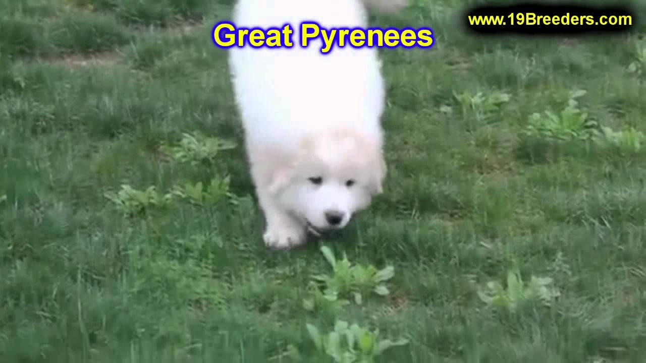 Great Pyrenees, Puppies, For, Sale, In, Green Bay, Wisconsin, WI, Eau  Claire, Waukesha, Appleton, Ra