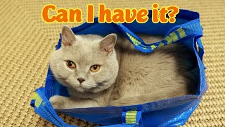 Cat In The Bag | Some Sweet Purrs | Lilac British Shorthair Cat | 4k