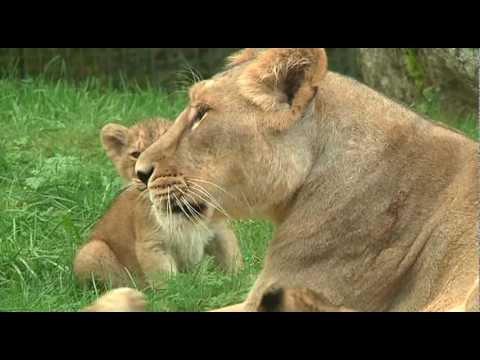 Unika lejonungar födda på Parken ZOO