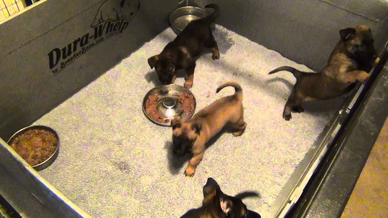 Belgian Malinois - Puppies For Sale - DECEMBER 2013 - YouTube