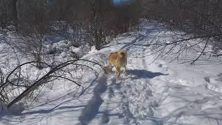 Западносибирская Лайка прогулка по лесу.