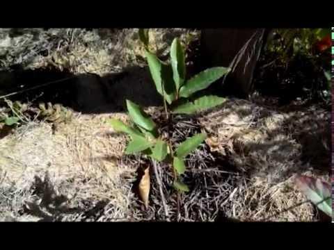 Каштан посевной, конский. Уход, выращивание, размножение