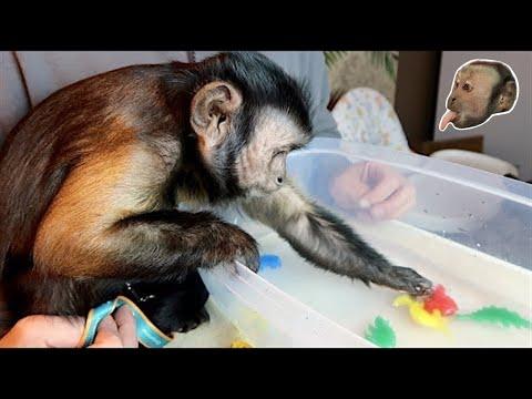 Monkey Plays With Magic Grow Dinosaur