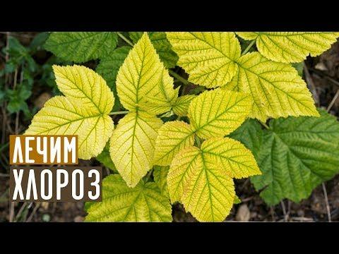 Самый эффективный метод борьбы с хлорозом / Садовый гид | эффективн | хлорозом | растений | зарубина | хлороза | садовый | лечение | хлороз | лечить | лариса