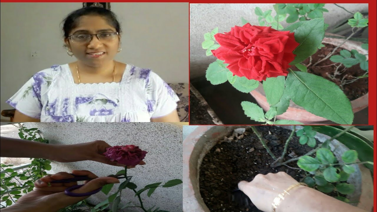 how to grow rose plant at home