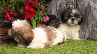 Litter Of Shihtzu Pups July, 2014 @ Kellyskennels.co.uk