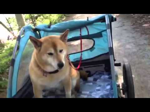 All About the Shiba Inu
