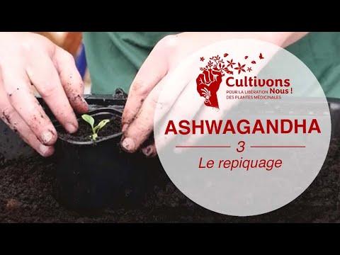 Acheter Ashwagandha Bio | Bénéfices - Meilleure qualité - Conseils et astuces