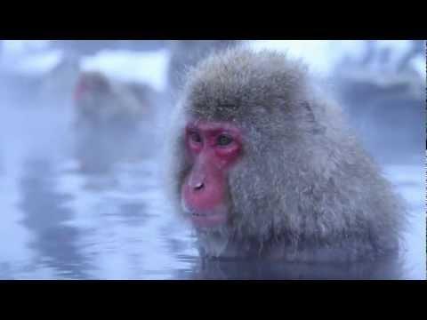 Monkey Meditations - Snow Monkeys in a Hot Spring, Japan
