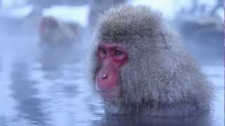 Monkey Meditations - Snow Monkeys in a Hot Spring, Japan