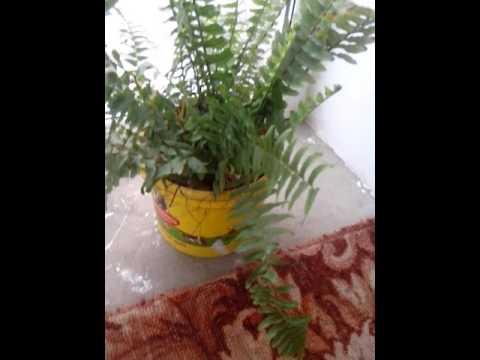 Папоротник.комнатное растение.