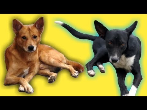 Indian Guard Dog Breed Pariah Dog - Belgian Malinois से कम नही ये नस्ल