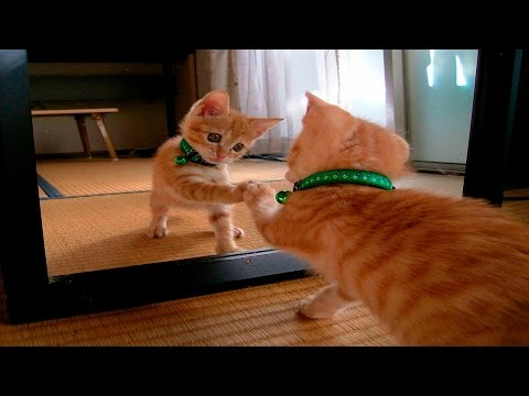 Funny Cats Vs Mirrors - Funny Cats Compilation January 2016