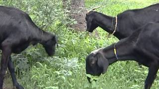 Tapsya- sheti pariwar(Bandist Shelipalan)