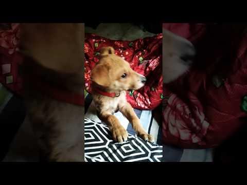Himalayan Sheepdog Puppy - Bhotia Dog