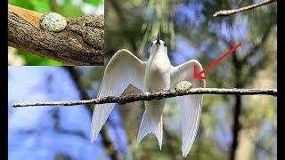Chắc không ai tin điều mà loài chim này làm - Đẻ trứng ngay trên cành cây cao không cần làm tổ