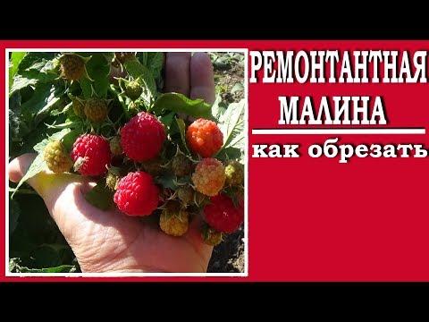 Как обрезать ремонтантную малину для хорошего урожая
