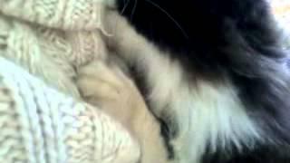 Были в деревне у родственников. Как оказалось, кот любит сосать кофты, как когда-то грудь своей мамы