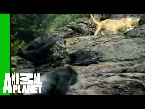 Animal Face-Off: Gorilla vs. Leopard Travel Video