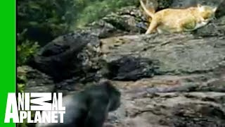 Animal Face-Off: Gorilla vs. Leopard