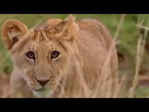 King Lion vs Baboon - YouTube