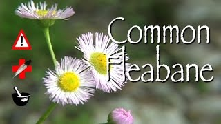 Video Common Fleabane: Medicinal, Cautions & Other Uses download MP3, 3GP, MP4, WEBM, AVI, FLV Agustus 2018