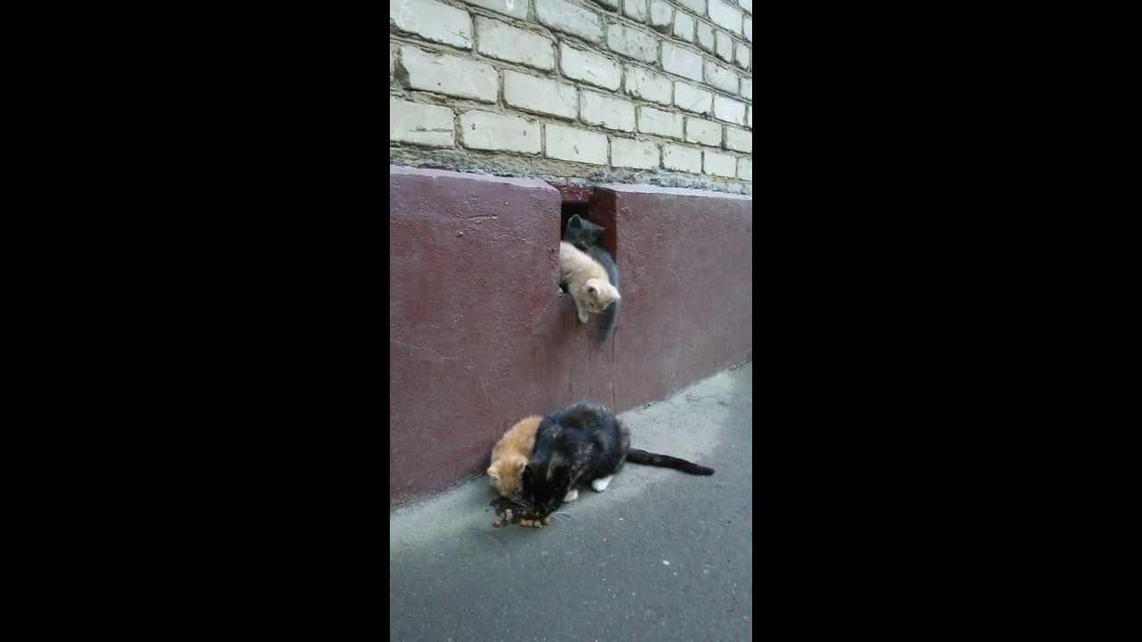 Продажа британских котят в москве из питомника sunray: вы можете купить котенка британскую короткошерстную miriel bel sunray черного золотого затушеванного окраса bri ny 11. Возраст 10 месяцев 6 дней.