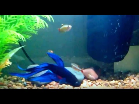 Betta and white cloud minnow in 5 gallon tank youtube for Fish that get along with betta