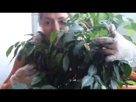 Фикус Бенджамина пересадка и уход.Ficus benjamina