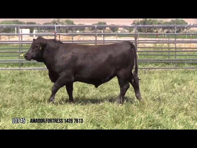 Mid Valley Bull Sale Lot 45