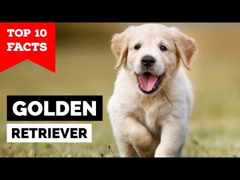 Golden Retriever  Top 10 Facts