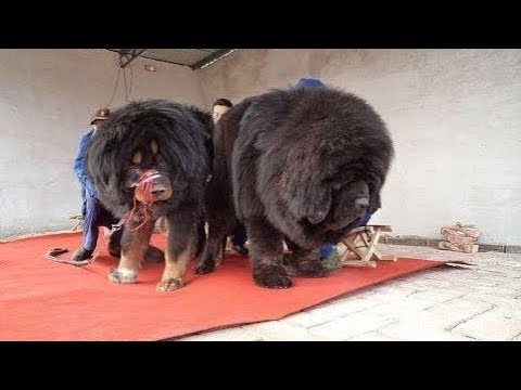 Tibetan Mastiff -  Absolutely Massive Tibetan