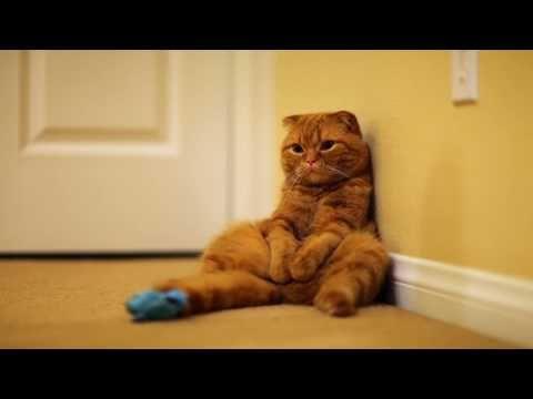 Scottish Fold Cat - Mango enjoying kitty life