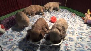 American Cocer Spaniel щенки американского кокер спаниеля