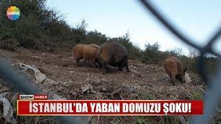 İstanbul'da yaban domuzu şoku!