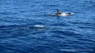 Balearic Sperm Whale Project. TURSIOPS Campaigns 2013