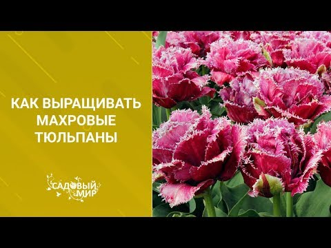 Вопрос: Как ухаживать за свежесрезанными тюльпанами?