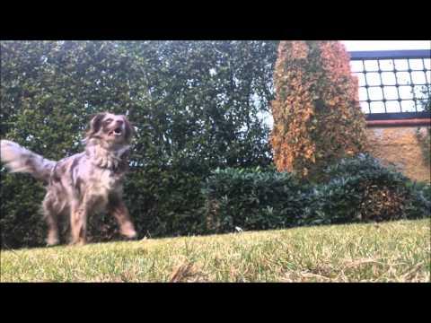 2 yaşındaki Ginger ile köpek eğitimi&köpekli sporlar /dog tricks with Ginger!