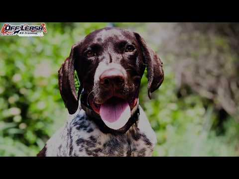 "5 Month Old German Shorthaired Pointer ""Winston"" Before/After Video 
