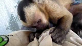 Leo The Cute Baby Capuchin Monkey